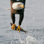 Bald Eagle Fishing Photo