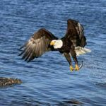 Images of Bald Eagle Fishing