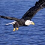 Bald Eagle Flying with Food Picture