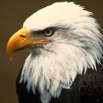 Bald Eagle Head Photo