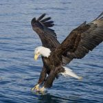 Images of Bald Eagle