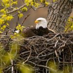 Bald Eagle Nest Photo