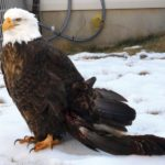 Photos of Bald Eagle