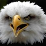 Bald Eagle Shouting Image