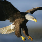 Bald Eagle Wallpaper Photo