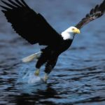 Bald Eagle Wings Image