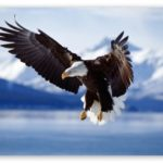 Bald Eagle Wingspan Photo