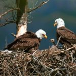 Bald Eagles with Chick Picture