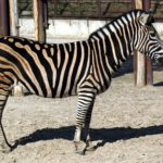 Beautiful Animal Zebra Photo