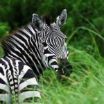 Beautiful Background of Zebra Photo