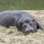 Beautiful Hippopotamus Image