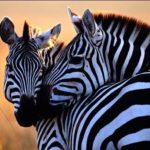 Beautiful Zebra Desktop Wallpapers Image