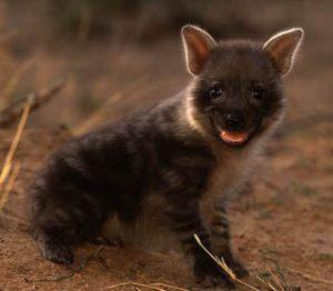 Brown Hyena Cub Image