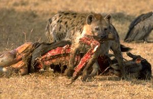 Brown Hyena Eating Photo