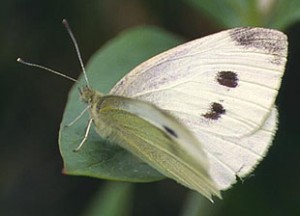 Cabbage White Butterfly Picture