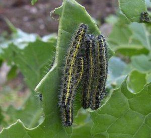 Cabbage White Butterfly Caterpiller Image