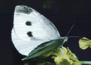 Images of Cabbage White Butterfly