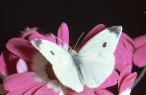 Photos of Cabbage White Butterfly