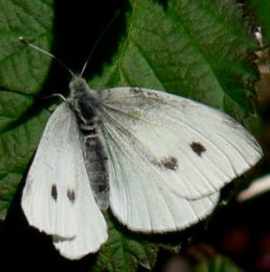 Pictures of Cabbage White Butterfly