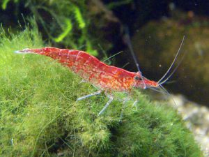 Cherry Shrimp Picture