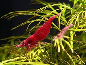 Images of Cherry Shrimp