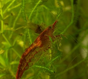 Pictures of Cherry Shrimp