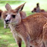 Cute kangaroo Photo