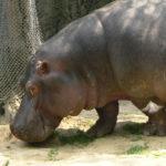 Photos of Hippo
