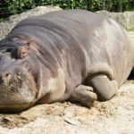 Pictures of Hippo