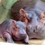 Hippopotamus Background Picture