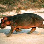 Images of Hippopotamus