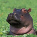 Pictures of Hippopotamus