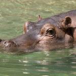 Hippopotamus Swimming Photo