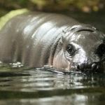 Hippopotamus Wallpapers Image