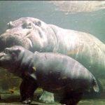 Hippopotamus under Water Image