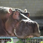 Hippo Images