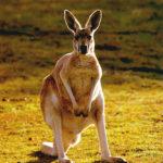 Picture of Kangaroo Animal