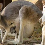 Kangaroo and Babies Image