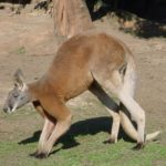 Photo of Kangaroos