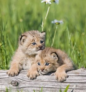 Kittens of Canada Lynx Photo