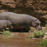 Mother and Baby Hippopotamus Photo