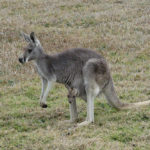 Mother with Baby kangaroo Picture