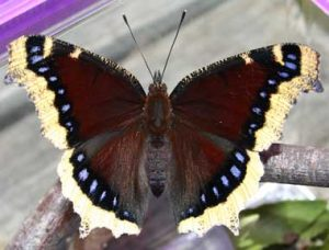 Mourning Cloak Picture