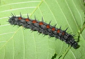 Mourning Cloak Caterpillar Picture