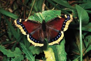 Images of Mourning Cloak