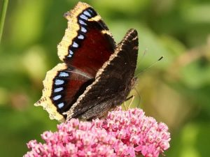 Photos of Mourning Cloak