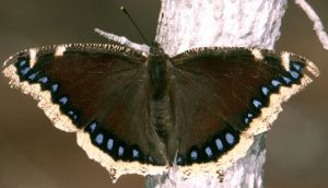 Pictures of Mourning Cloak