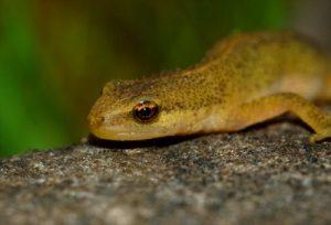 Palmate Newt Eyes Image