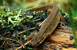 Images of Palmate Newt