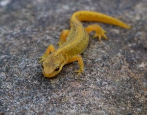 Photos of Palmate Newt